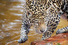Jaguar playing in the water