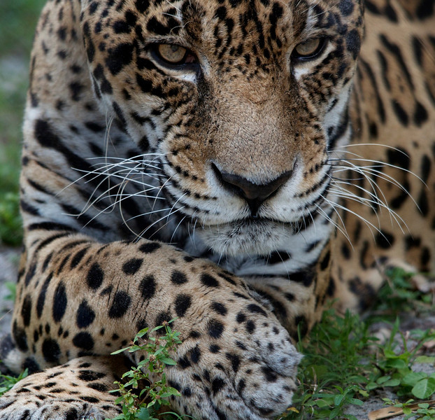 "Male Jaguar, his ""GQ"" pose"