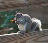 Squirrel eating seed pod on fence