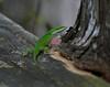 Male Green Anole lizard