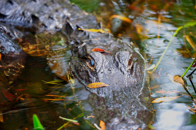 Alligator and leaves<br /> Palm Beach County, Florida