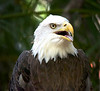 Bald Eagle, right side portrait with mouth open
