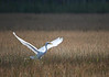 Great Egret (Ardea alba) landing in marsh.