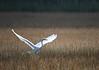 Great Egret (Ardea alba) landing in marsh.