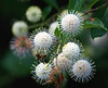 Bee and Buttonbush flowers