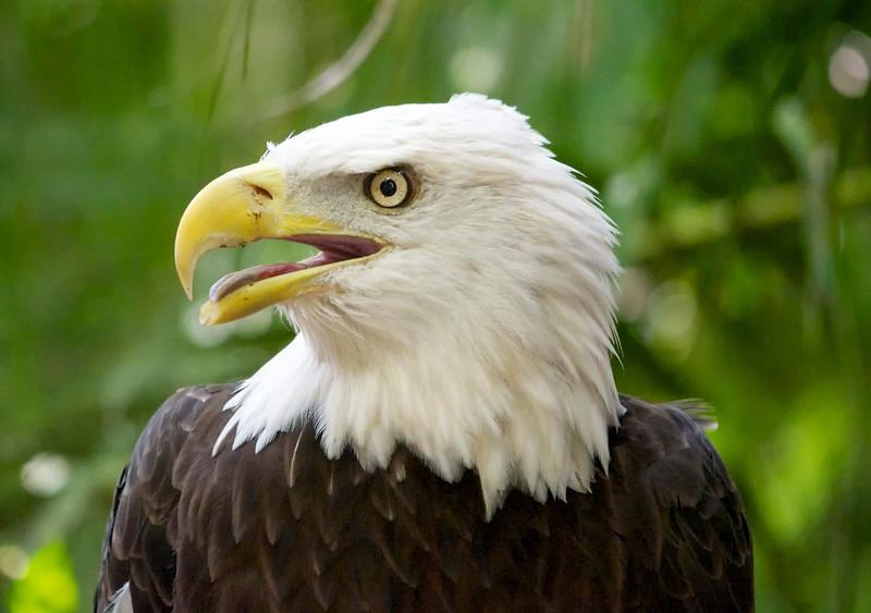 Bald Eagle, left side portrait with green background