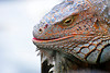 Large male iguana portrait
