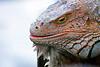 Large male iguana portrait