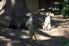 Meerkats at the San Diego Zoo