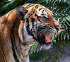 Nice Kitty<br /> Tiger right side portrait with mouth open