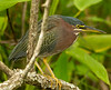 Green Heron on limb