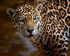 Female Jaguar, portrait against brown water background