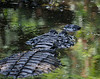 Alligator, resting in the water<br /> Palm Beach County, Florida