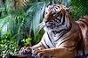 Tiger sitting, left side view