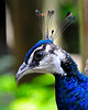 Male Peacock, left side head shot