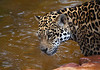 Female Jaguar in the water