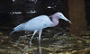Little Blue Heron, catching lunch
