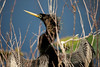 Anhinga drying his wings. Loxahatchee Preserve, Florida.