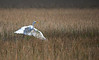 Great Egret (Ardea alba) landing (2) in marsh