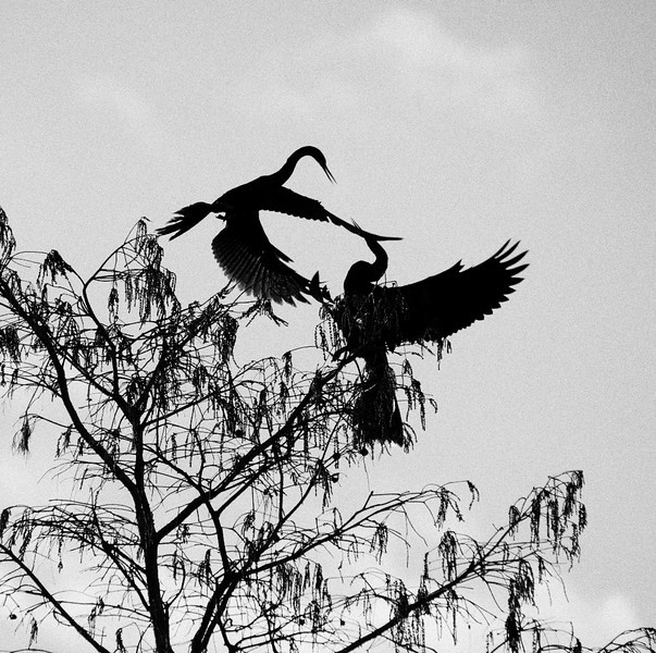 Fighting Anhinga birds<br /> Grassy Waters Preserve, Palm Beach, Florida