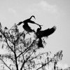 Fighting Anhinga birds<br /> Grassy Waters Preserve, Palm Beach, Florida