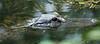 American Alligator in Big Cypress Swamp