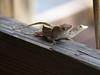 Rare shot of lizards mating