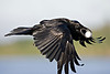 Raven in flight carrying egg. Notice dark area under head/beak.