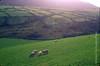 ireland sheep