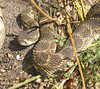 Close encounter with Rattlesnake