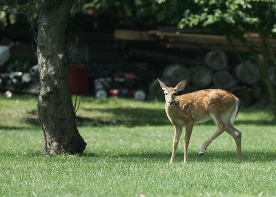 A fawn is distracted from it's snack when it hears the click of a camera shutter. The young deer was on Ford Road in Elyria, shortly after noon Monday.