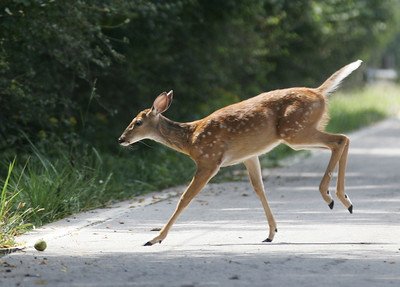 03SEP12  The fawn runs back to the woods near the Metro Parks service center on Ford Road. photo by Ray Riedel