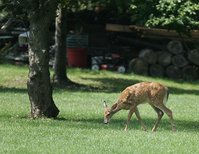 03SEP12    A fawn licks it's lips as it enjoys the fallen fruit near the Metro Parks facility on Ford Road in Elyria Monday. photo by Ray Riedel