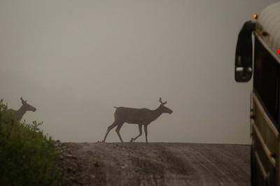 Crossing the road. Denali National Park