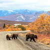 Mama and 2, Denali Park, Road Lottery 2014