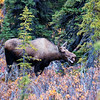 Moose in Denali Park, Road Lottery 2014