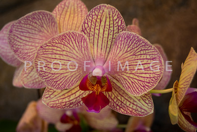 Pink and Whie Phalaenopsis Orchid