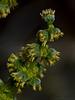<em>Ambrosia dumosa</em>, Burrobush, White Bursage, native.  <em>Asteraceae</em> (= <em>Compositae</em>, Sunflower family). Anza Borrego Desert State Park, San Diego Co., CA, 2010/04/02, jm2p299