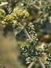 <em>Ambrosia dumosa</em>, Burrobush, White Bursage, native.  <em>Asteraceae</em> (= <em>Compositae</em>, Sunflower family). Anza Borrego Desert State Park, San Diego Co., CA, 2010/04/01, jm2p239
