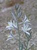<em>Hesperocallis undulata</em>, Desert Lily, native.  <em>Agavaceae</em> (Agave family). Anza Borrego Desert State Park, San Diego Co., CA, 2010/04/01, jm2p1286