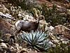 Desert Bighorn,  <em>Ovis canadensis</em>, Agave. Anza Borrego Desert, CA 11/16/05