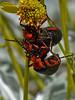Blister Beetle, <em>Lytta magister</em> <em>Encelia farinosa</em>, Brittlebush Anza Borrego Desert State Park, San Diego Co., CA, 2010/04/03