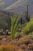 Ocotillo of the McDowell Sonoran Preserve