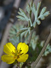 Eschscholzia minutiflora, Pygmy Poppy, native.  <em>Papaveraceae</em> (Poppy family). Anza Borrego Desert State Park, San Diego Co., CA, 2010/04/03, jm2p984