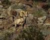 Desert Bighorn,  <em>Ovis canadensis</em> Anza Borrego Desert, CA 11/16/05