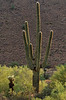 Saguaro of the McDowell Sonoran Preserve