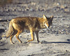 Coyote, <em>Canis latrans</em> Death Valley, Inyo County, CA