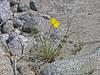 <em>Eschscholzia parishii</em>, Parish's Poppy, native.  <em>Papaveraceae</em> (Poppy family). Anza Borrego Desert State Park, San Diego Co., CA, 2010/04/03, jm2p984