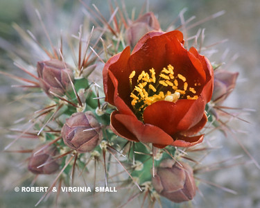BLOSSOM AND BUDS OF CHOLLA CACTUS