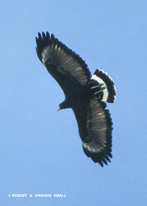 A COMMON BLACK HAWK PHOTOGRAPHED IN NW TEXAS.  IF YOU DON'T CONCUR, PLEASE GIVE US A BETTER BIRD . . . !